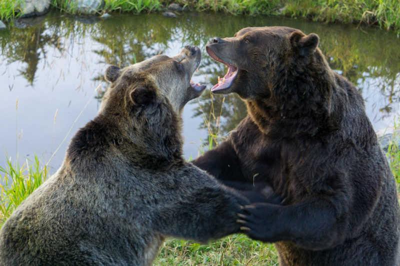 湖边两只灰熊在打架