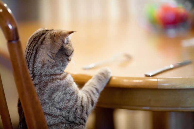 餐桌前的猫咪