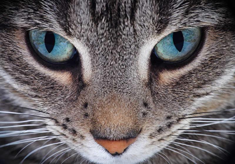 猫咪的面部特写