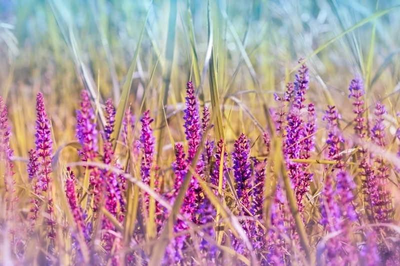 紫花草甸花素材