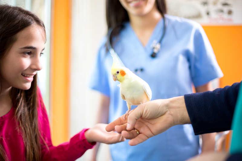 被治疗的黄色鹦鹉