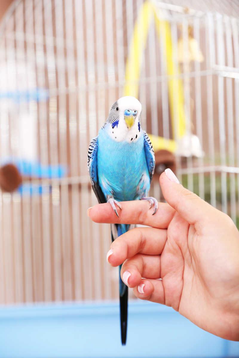 手上的蓝色鹦鹉特写