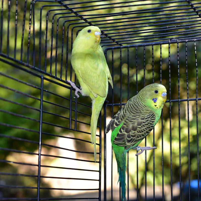笼子里的两只虎皮鹦鹉