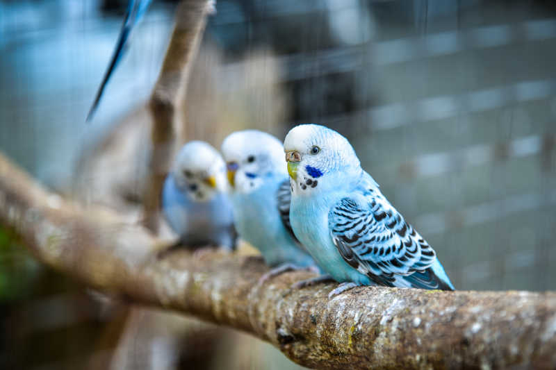 站在树枝上的三只鹦鹉