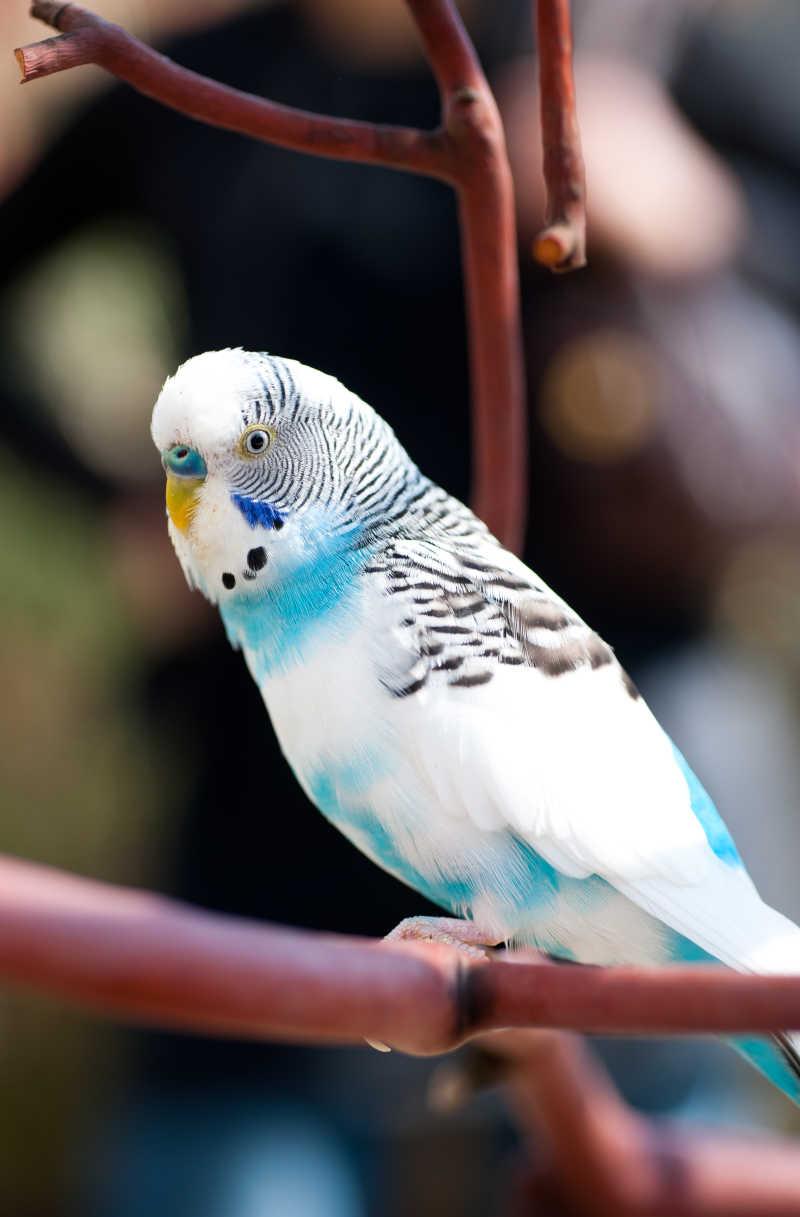 可爱漂亮的小鹦鹉