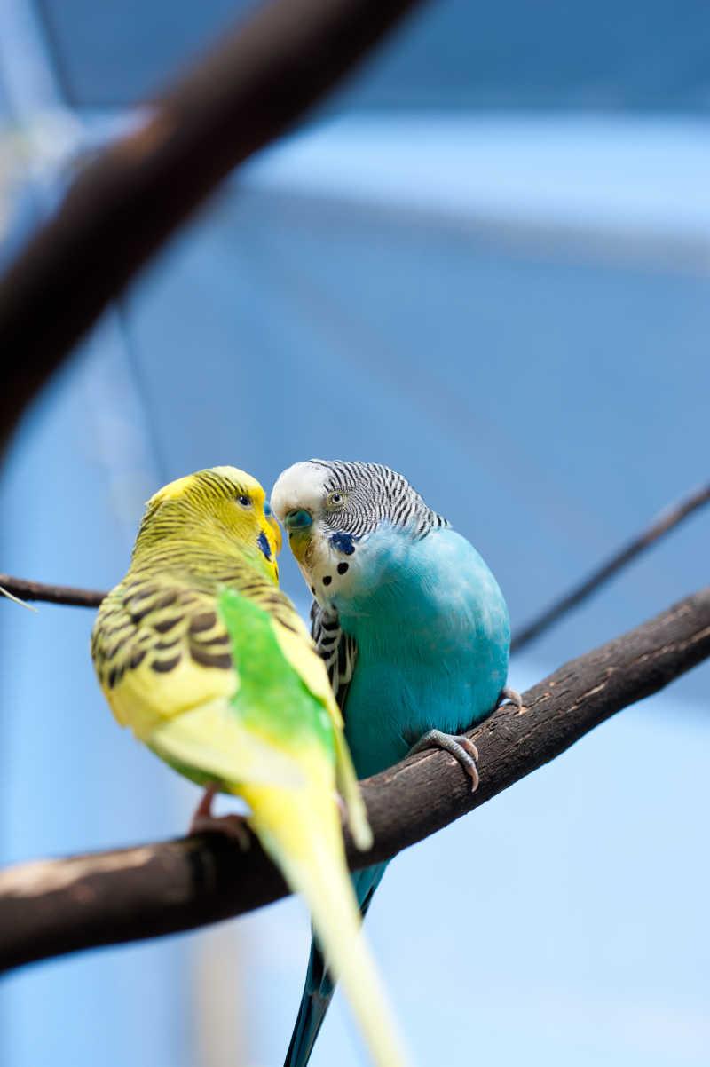树枝上的两只可爱的鹦鹉