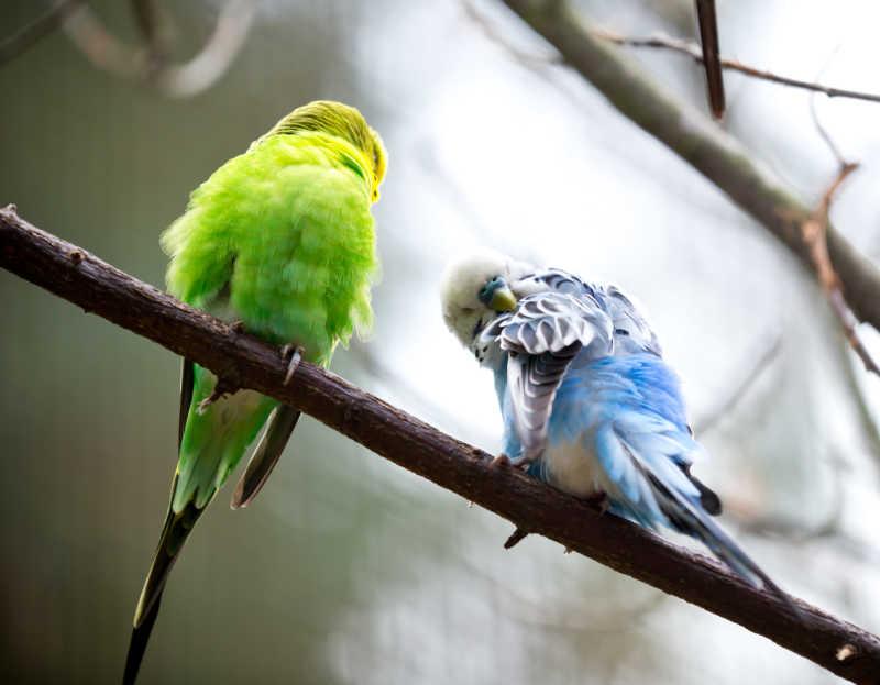 两只可爱的鹦鹉
