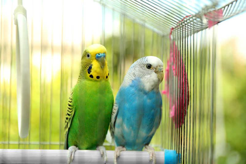 笼子里的两只可爱的鹦鹉