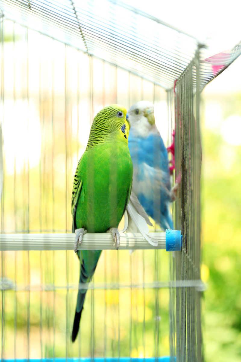 笼子里的两只不同颜色的小鹦鹉