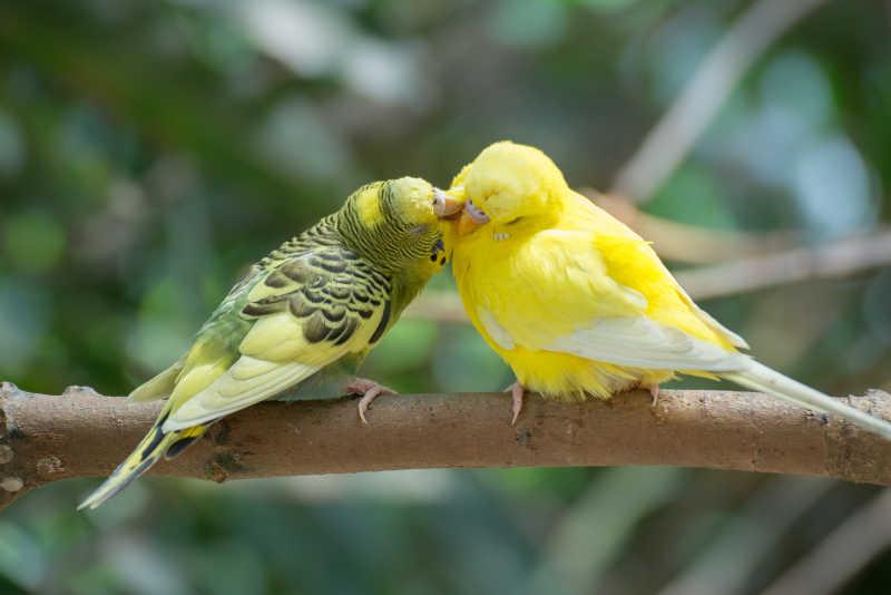 站在树枝上的两只不同颜色的虎皮鹦鹉