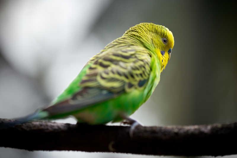 站在树枝上的可爱的小鹦鹉