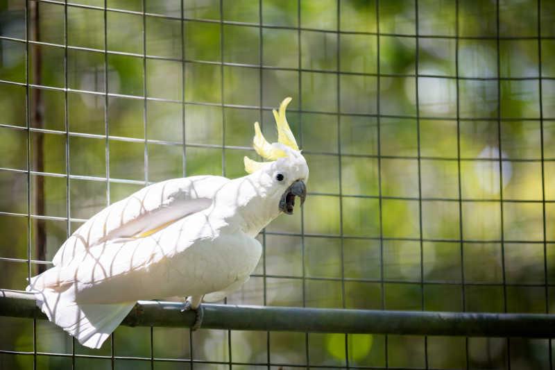 笼子里的白色羽毛鹦鹉