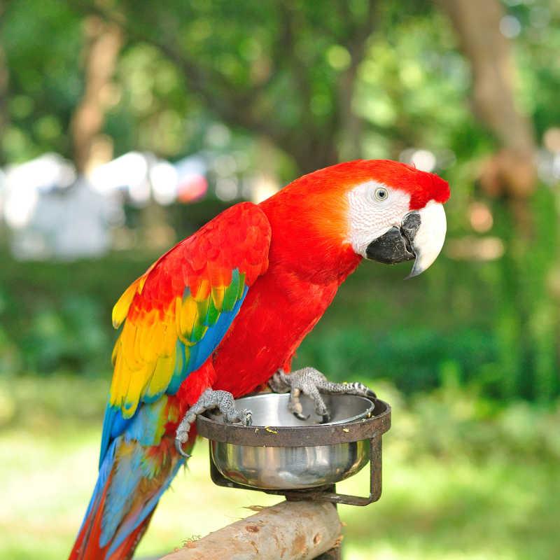 站在饭盆上的金刚鹦鹉