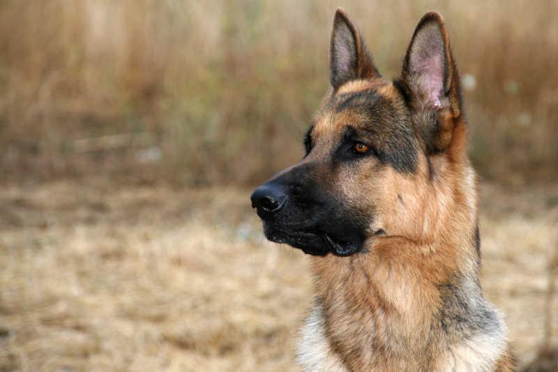 秋天背景下歪着头的德国牧羊犬
