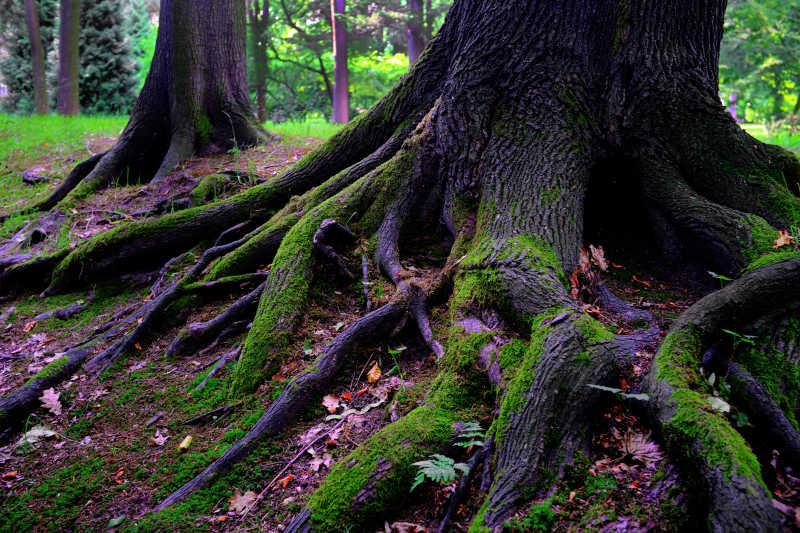 橡树根上的青苔