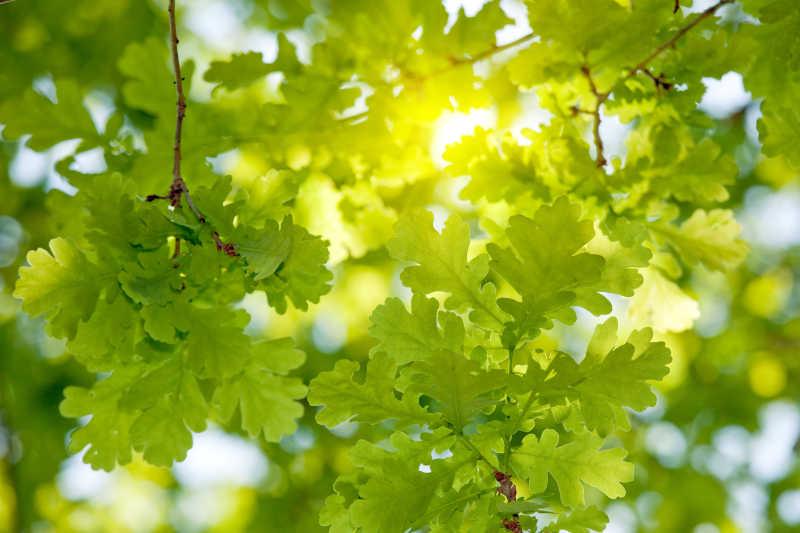 阳光穿透橡树叶
