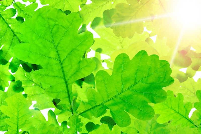 灿烂的阳光透过橡树的叶子闪耀