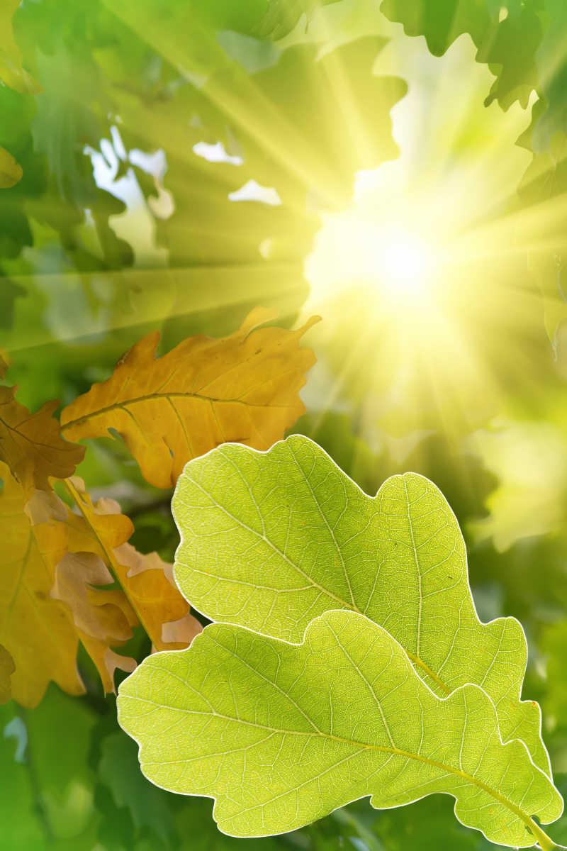 太阳下的橡树叶