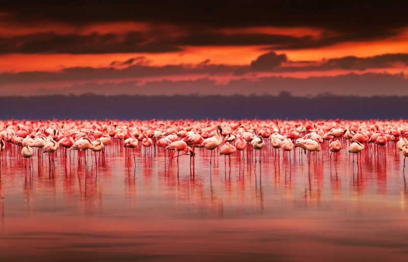 美丽夕阳下一群站在河里的火烈鸟