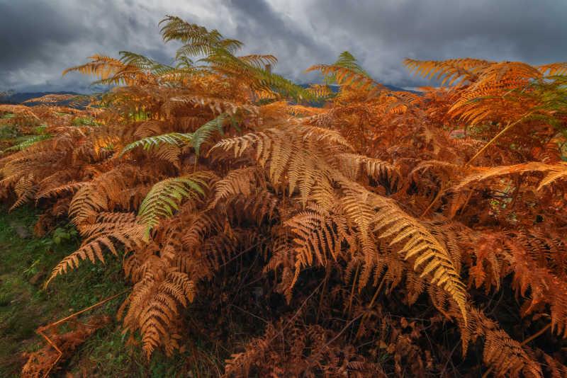 蕨类植物秋叶