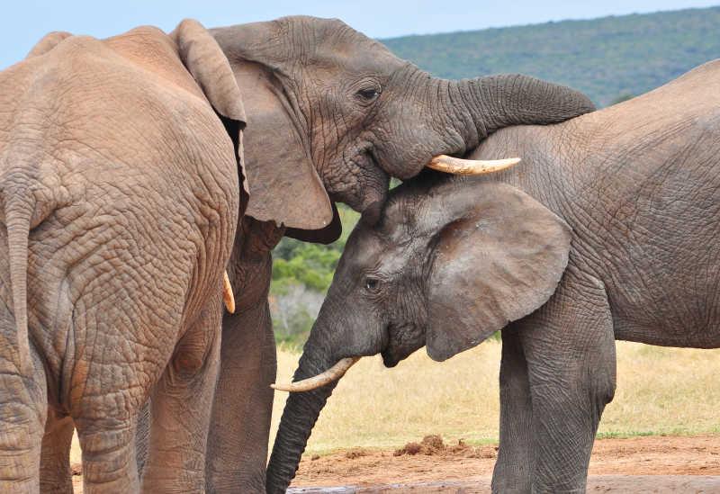 嬉闹的两只大象
