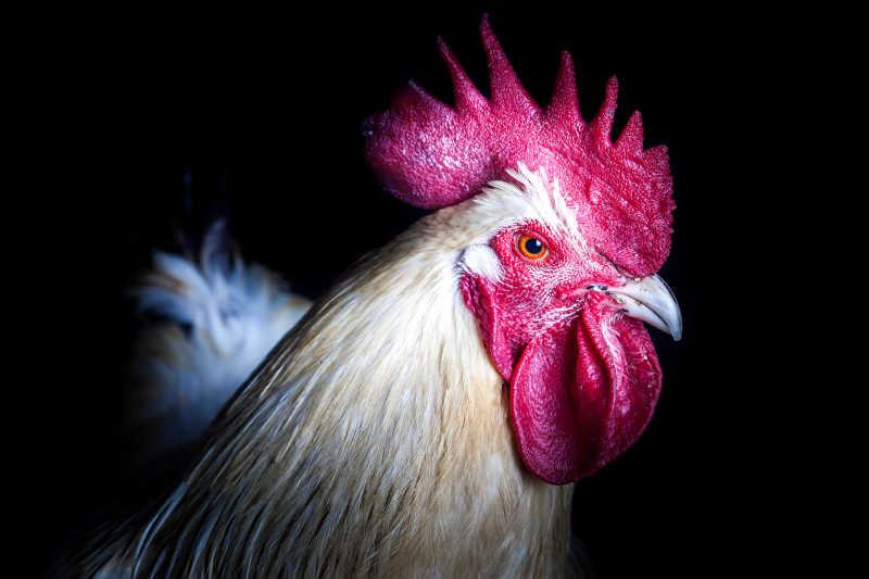 黑色背景下的公鸡