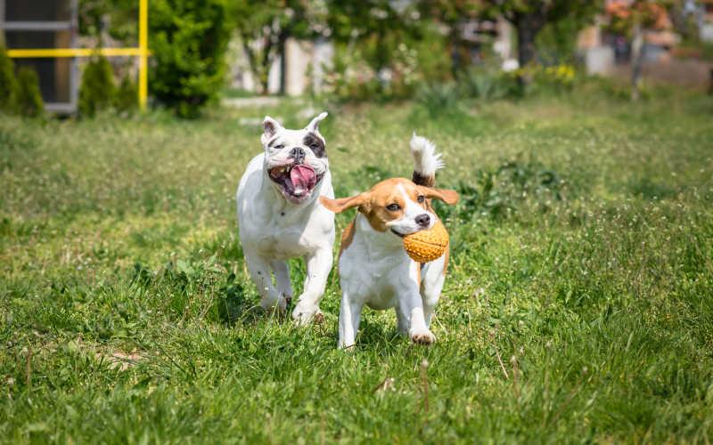 英国斗牛犬和比格犬在玩耍