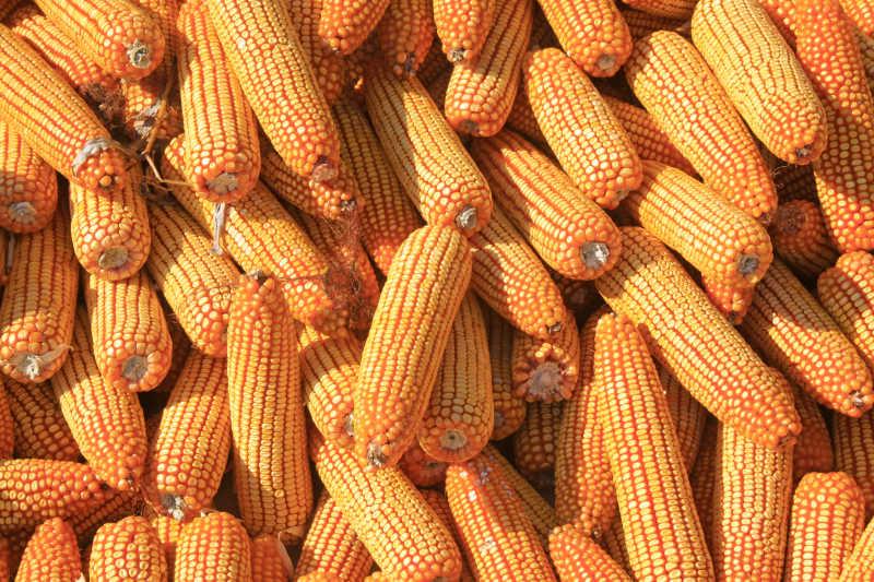 晒干的玉米