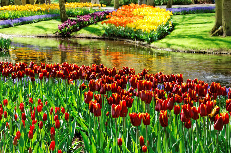 在库肯霍夫花园五颜六色的郁金香