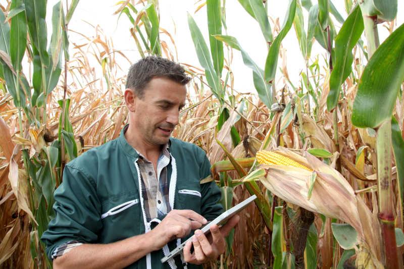 农民检查玉米作物