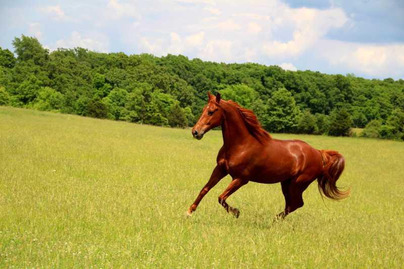 绿色草地上奔跑的栗色马匹