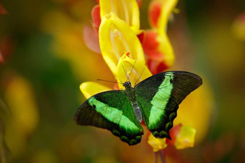 黄色花上的绿凤蝶