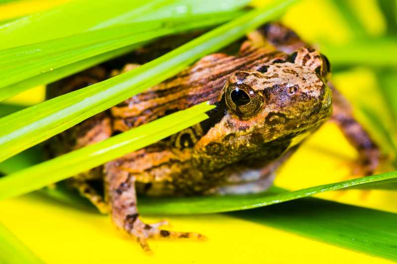 绿叶里的青蛙