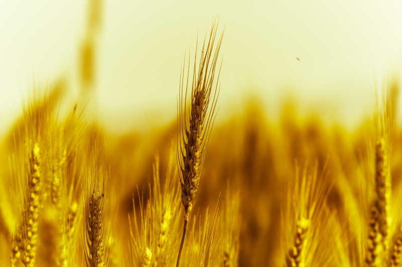 金色麦田风景