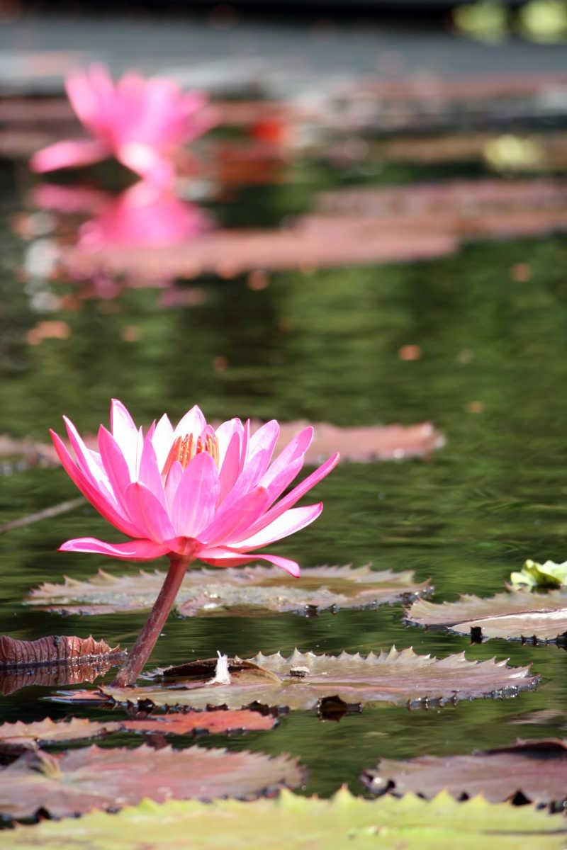 池塘里美丽的莲花