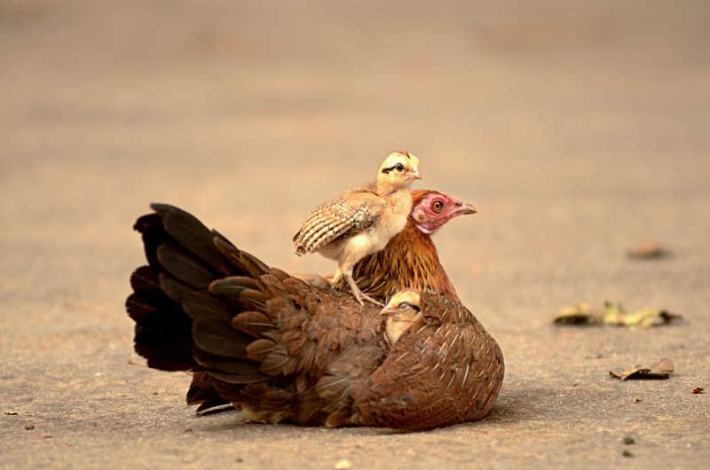 小鸡站在母鸡的身上