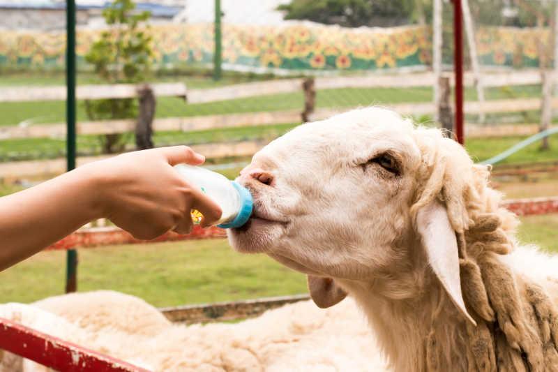 喂山羊喝奶