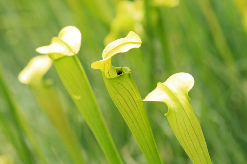 苍蝇和猪笼草特写