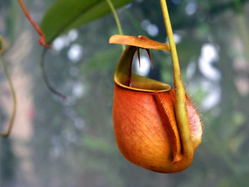 热带猪笼草