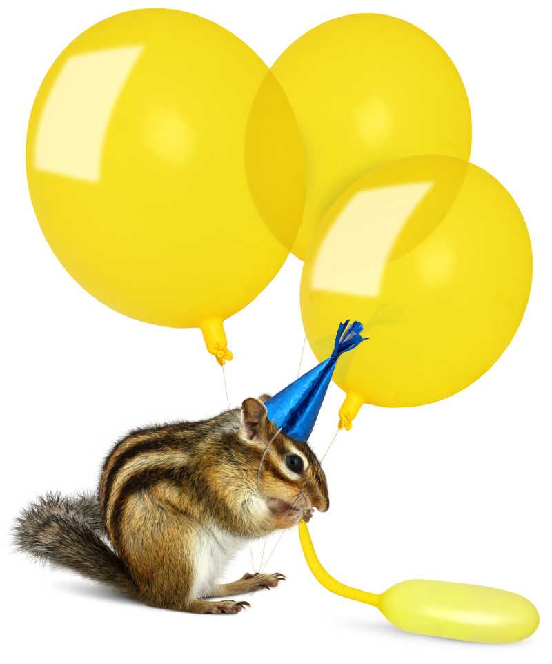 吹气球的花栗鼠
