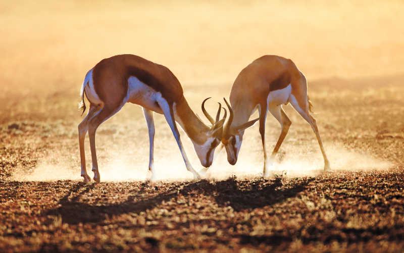 喀拉哈里沙漠的跳羚