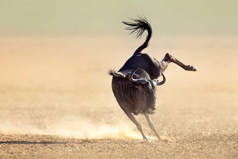 沙漠里的蓝牛羚