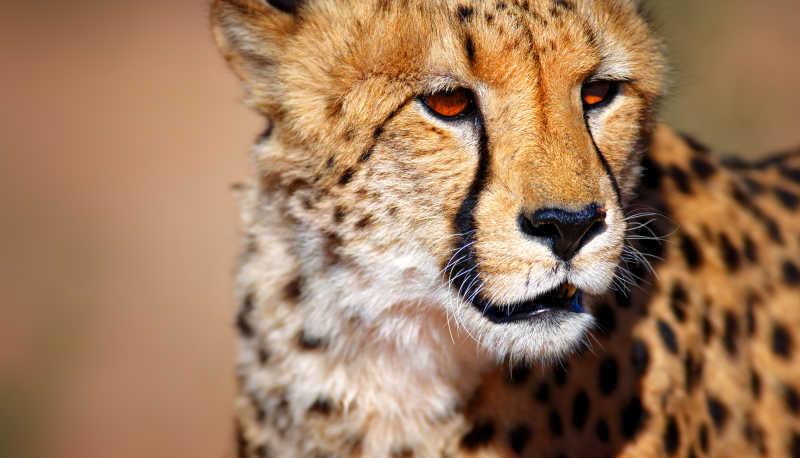 帅气的猎豹