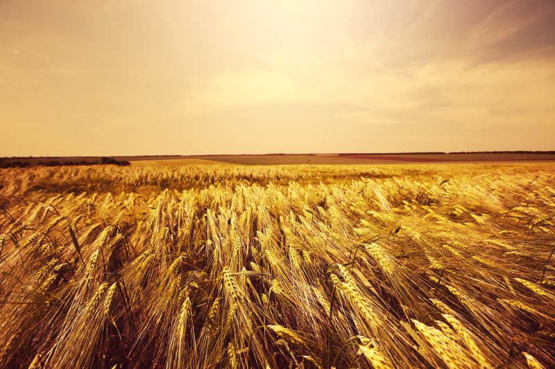 收获的金黄的小麦