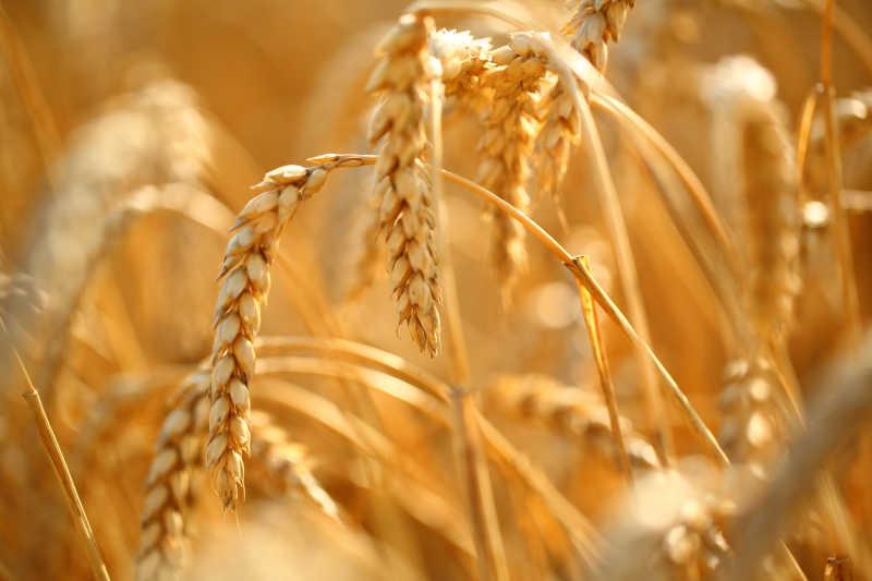 麦田里金黄的麦穗