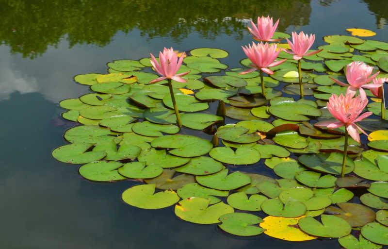 池塘里的荷花