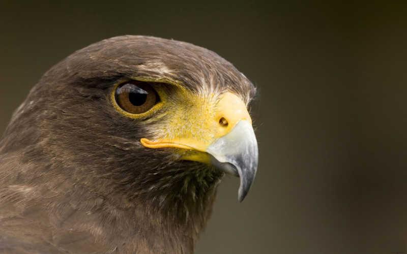 棕色背景上的鹰