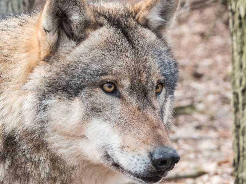 狼的目光炯炯有神