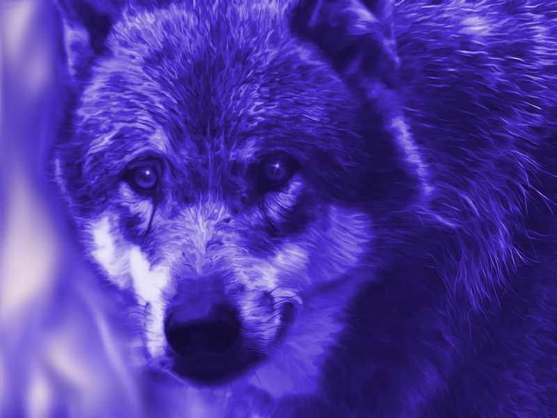 夜间拍摄的狼的照片