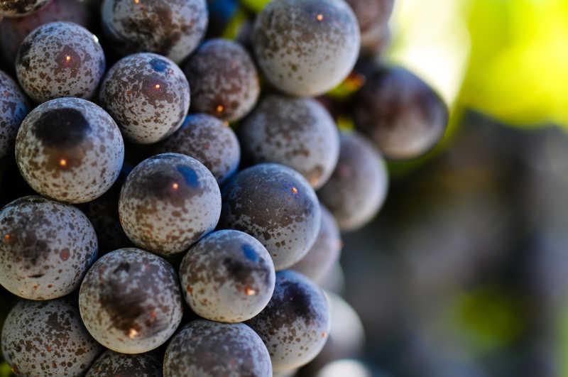 葡萄藤上新鲜的红葡萄